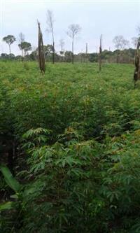 Sitio/Terras em Novo Aripuanã/AM 1.200 Hectares