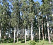 Fazenda na cidade de Avaré de 22.000 Alqueires ou 50.000 hectares toda formada em eucalipto