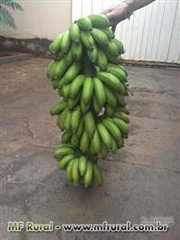 Vendo bananas maçã e mudas de banana