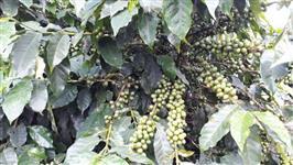 Fazenda de café mg