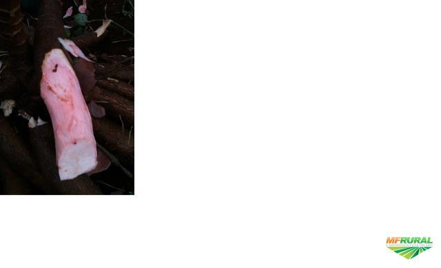 Mandioca Rosada