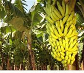 Carga de Banana