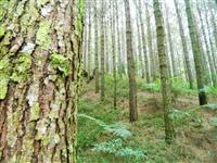 Pinus Taeda Clonal 13 anos