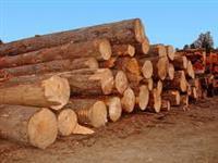 Compro Tora de Pinus e Eucalipto AD para Exportação 110.000 Unidades