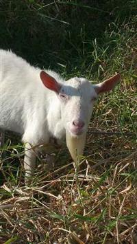 Cabras e bodes saanen