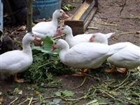 Patos e Patas (Botando) Criados Soltos em Sítio