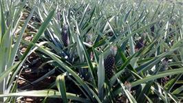 Roça de Abacaxi Perola