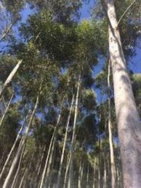 Eucalipto citriodora em pé
