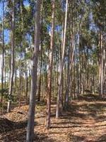 Floresta em pé - eucalipto