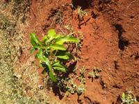 Vendo mudas de abacate - Excelente qualidade  de enxerto