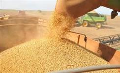 Soja GMO para Exportação