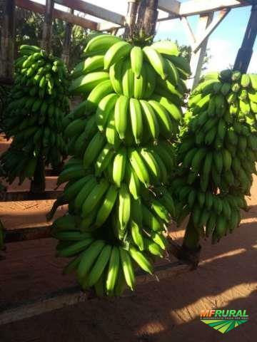Banana Prata Anã