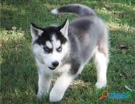 CANIL CANINOS BRANCOS - Husky siberiano filhotes