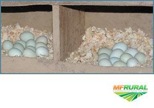 Ovos galados de galinhas de ovos azuis com galos Ameraucanos