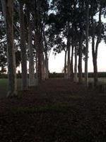 vendo eucalipto em pe de 30 anos plantados