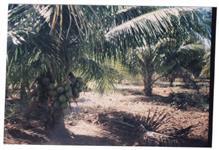 Fazenda Serra do Ramalho  - Plantação de cocos