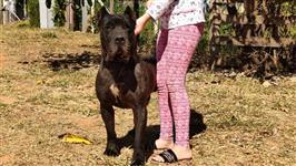 Cão de guarda e proteção Presa Canário