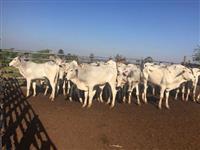 33 Bezerros machos e fêmeas acima de 14 meses, ótima genética, cria do touro Artefato FIV do Foro