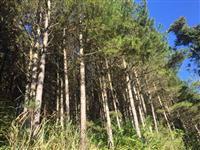 Florestamento de Pinus