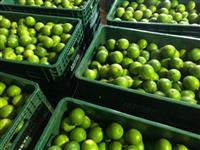 Vendo Limão Taiti Classificado