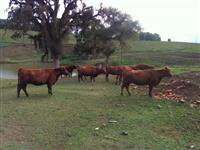Vacas Red Angus