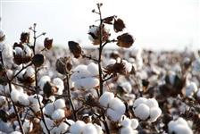 Caroço de algodão - CONTRATOS