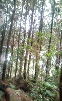 Vendo terreno com Pinus e Eucalipto