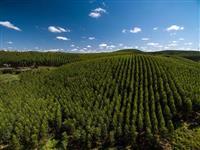 Procuro plantação de Eucalipto e Pinus