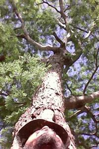 Mudas de jacarandá da bahia (dalbergia nigra)