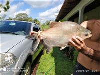 Peixe tambaqui in natura