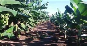 Terreno com Plantio de Banana Nanica e Prata