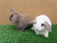 Míni coelhos de raça