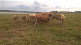 Vacas Jersey em lactação, novilhas e vacas com prenhes.