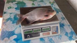 Tambaqui de 700g a 1kg