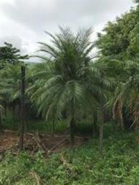 Palmeira Phoenix Gigante 5mts alt