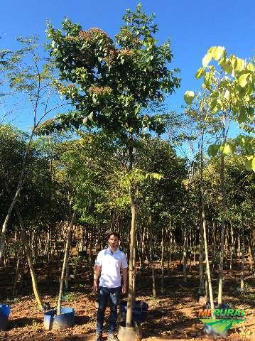 Árvores Palmeiras e Frutíferas Adultas