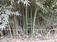 Bambú Cana da Índia