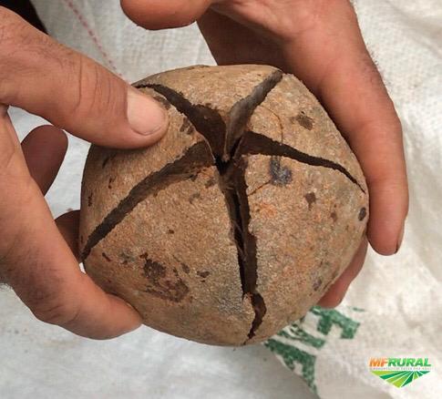 Vendas de Sementes de Mogno Africano(Khaya Grandifoliola)