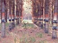 Arrendo Floresta de Pinus elliotti