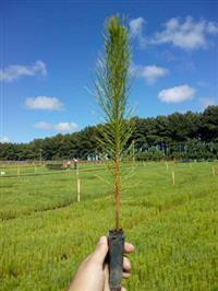 Mudas de Pinus elliottii