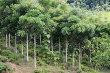 Plantio de Floresta - Reflorestamento
