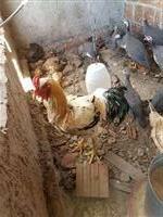 Pinto de galinha caipira (grande)