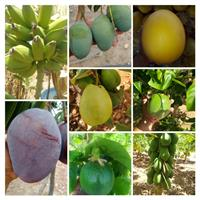 Mamão formosa  coco verde e coco seco manga Tommy Palmer e melão amarelo e outras frutas da estação
