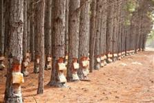 Procuro floresta de pinos pra extraçao de rezina