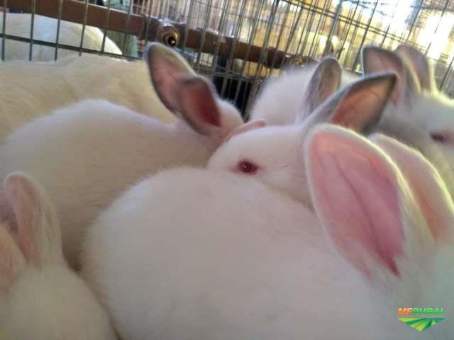 Venda de coelhos para reprodução