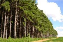 PROCURO Pinus Ellioti para arrendamento!