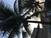 Coqueiro da Bahia