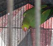 Periquito Ring Neck Verde
