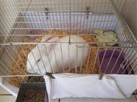 Vendo coelho  femea