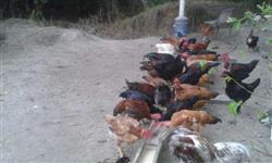 Frangos e galinhas caipira